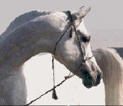 Zedann_Morafic_Arabian_Stallion_small